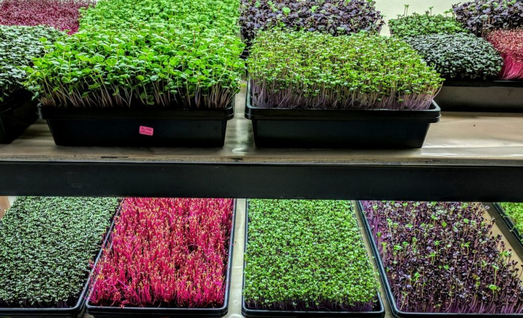 Microgreen Rainbow of Trays
